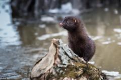 Vison d'Amérique / Mink (Roy Yves) Tags: héritagestbernard vison mink yvesroy