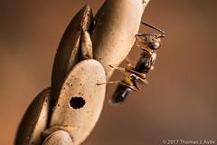 Parasitic Wasp (Tom's Macro and Nature Photographs) Tags: macrophotography insects hymenoptera wasp parasitic eggs katydids orthoptera gardeninsects garden anastatus katydid egg parasite
