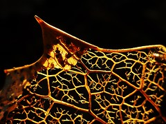 Holly Leaf..x (Lisa@Lethen) Tags: holly leaf veins sunlight blackbackground macro decay rotting nature