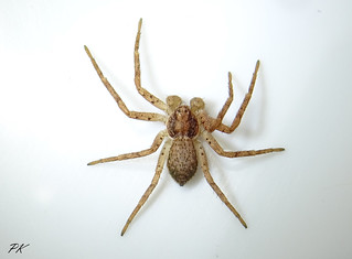 Running Crab spider (Lepthyphantes nebulosus) Male 4mm     very much alive as are all my subjects