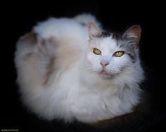 Milonga in the Dark (Emil de Jong - Kijklens) Tags: pet animal blackbackground cat dark katten kat maine depthoffield coon mainecoon geel wit catinthedark