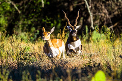 Blackbuck Chase (GizmoPhoto.co) Tags: ranch nature animal nikon texas wildlife south antelope tamron blackbuck d600 150600 150600mm pamandan