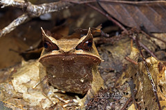 IMG_6816-0(W) Malayan Horned Frog (Megophrys nasuta) (Vince_Adam Photography) Tags: rainforest wildlife amphibian camouflage malaysia frogs herp herps herpetology brownleaves tropicalforest browncolor anura driedleaves amphibia katak amfibia chordata vertebrata herpetofauna megophryidae megophrys herpertofauna longnosedhornedfrog megophrysnasuta malayanhornedfrog malayanleaffrog duaalam herpertology amphibiansofmalaysia frogsofborneo frogsofmalaysia frogsofasia kataktanduk frogsofsoutheastasia katakbertanduk wildlifeofmalaysia