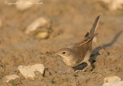 Common Whitethroat (Sylvia communis) (Bird Guide UAE - 1M+ Views thanks !) Tags: unitedarabemirates rasalkhaimah sylviacommunis