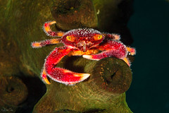 _MG_4312-19032015-Romblon (Robbysub) Tags: macro underwater romblon 2015 filippine