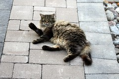 Momma Cat Appearing To Wave To Me (Chrisser) Tags: cats ontario canada nature animal animals cat mainecooncat ourcatcompanions crazyaboutcats kissablekat kissablekats bestofcats kissablekitties kissablekitty canoneosrebelt1i canonefs60mmf28macrousmprimelens