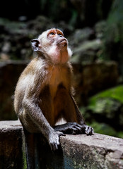 Battu Caves Monkey 3 (m4rtinovic) Tags: travel summer food zeiss monkey asia jungle malaysia kualalumpur tanahrata cameronhighlands malaka distagon langtengah pulaulangtengah bohtea zeisslenses sonya7 fe24240