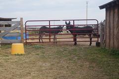 Donkeys at High Plains Homestead