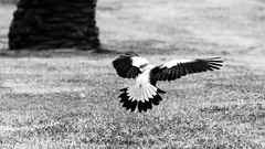 Maribyrnong (wtewg) Tags: spring october australian australia victoria nikond50 magpie 17th 2015 maribyrnong