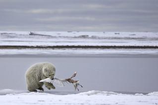 Bear Cub Eating Glaucous Gull