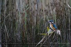 Martin pcheur (Azraelle29) Tags: bird bretagne oiseau finistre azraelle curnic guisseny sigma150500 azraelle29 sonyslta99v