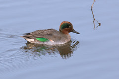 Teal (Andrew_Leggett) Tags: green water swimming duck bright teal emerald anascrecca rspboldmoor andrewleggett