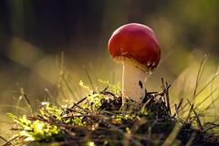 Little Redhead (parkerbernd) Tags: autumn light fall nature mushroom forest germany lumix fly moss fantastic woods floor little bokeh redhead panasonic explore toadstool brandenburg agaric poisonous pilz fliegenpilz gx1