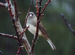 Dark Eyed Junco (jsax2015) Tags: winter white black bird fall nature beauty rain pretty branch outdoor junco perch daytime perching