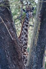 Masai Giraffe (Makgobokgobo) Tags: africa mammal kenya giraffe giraffa naivasha giraffacamelopardalistippelskirchi giraffacamelopardalis lakenaivasha masaigiraffe elsamere maasaigiraffe kilimanjarogiraffe