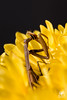 The Mantis's lunchtime (andrea.prave) Tags: flowers food flores nature fleur yellow jaune bug mantis insect vespa wasp flor natura lunchtime amarillo gelb giallo fiori 花 自然 insekt cibo mantide insetto insecte insetti pranzo insecto زهرة 昆虫 цветок насекомое حشرة 黄 mantidereligiosa أصفر חרקים eðli