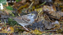 White-throated Sparrow (02) (gbeall) Tags: lake sammamish 20151115