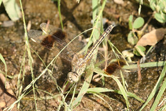 Brachythemis impartita  Northern Banded Groundling (Roger Wasley) Tags: africa camp west dragonflies dragonfly gambia tendaba brachythemisimpartita northernbandedgroundling