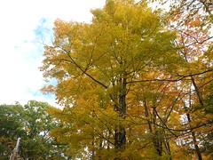 20151017_125401 (plussed) Tags: autumn fall maple foliage acer sugarmaple saccharum fall2015