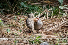 Demanding Chick! (doublejeopardy) Tags: france bird mother chick fr aquitaine angresse