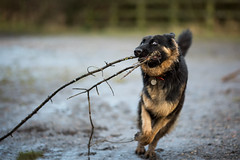 0S6A5965 (ThrottleUK) Tags: german shepard dog eyes running playing stick branch wild look gsd alsatian pet