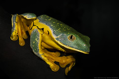 Splendid Leaf Frog (Cruziohyla calcarifer) (AnimalExplorer) Tags: central america south costa rica panama columbia ecuador tropical rain forest rainforest jungle canopy amphibian anuran frog arboreal croak ribbit
