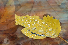 Dew drops (firstlookimages.ca) Tags: colors fallseason fallcolors dewdrops leaves reflections waterreflections art artistic artisticmanipulation digitalmanipulation digitalart digitalphotography detail layers wow