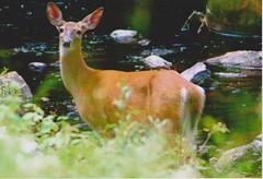 Deer near Sagamore (rochpaul5) Tags: deer wildlife adirondack adk creek racquette doe summer