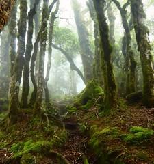 Mossy Forest, NZ (EmmaElf) Tags: moss ancient newzealand forest hiking trees woodland enchanted green lichen path greatwalk walking mist clouds damp wood ecosystem wet high