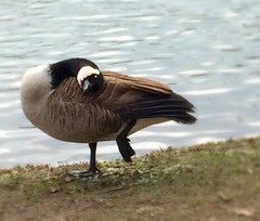 Canada Goose Trying to Stay Warm ! (NettaT) Tags: canada ontario geese goose canadagoose water winter