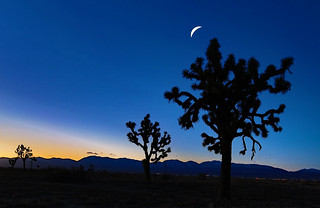 Moon Over Joshua Trees
