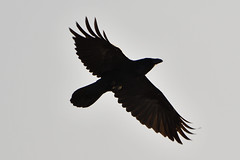 Raven. (stonefaction) Tags: birds nature wildlife scotland angus raven glenshee perthshire aberdeenshire