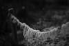 Guirlande. (Dikke Biggie.) Tags: happyfencedfriday hff fence fenced fencing fencedfriday hek hekwerk omheining wire barbedwire prikkeldraad wool sheepwool wol schapenwol guirlande slinger frozen frosty slightlyfrozen bevroren lichtbevroren pole paal closeup detail macro dof depthoffield bokeh canon canoneos450d 100mm f28 blackandwhite bw black white zwartwit zw zwart wit monochrome monochroom dgawc canonnl