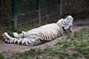 Witte tijger - White tiger (Den Batter) Tags: nikon d7200 overloon zooparc tijger tiger wittetijger whitetiger pantheratigristigris