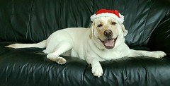 Gracie wishes everyone a very Merry Christmas! (walneylad) Tags: gracie dog canine pet puppy lab labrador labradorretriever cute december winter christmas christmaseve merrychristmas santa
