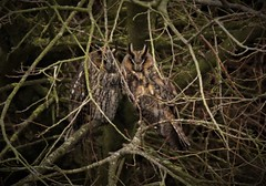Long eared Owls  (Asio otus) Dungeness RSPB (GrahamParryWildlife) Tags: add tags mk2 7d sport 150600 sigma yellow grahamparrywildlife small uk kent rspb dungeness animal outdoor viewing photo flickr new sunlight depth field plumage bi longeared owl pair both