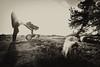 Face Off (PaulHoo) Tags: bw monochrome blackandwhite sun blownout sunray silhouette face sheep hilversum holland netherlands contrast nik silverefex shadow light baby men parent fun heath heide landscape
