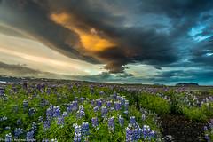Lupinenfelder in der Nähe von Skogafoss (AnBind) Tags: island fotoreise 2016 arrresien ereignisse urlaub suðurland is