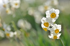 early-blooming narcissus (snowshoe hare*(slow)) Tags: dsc0783 narcissus flowers winter botanicalgarden 水仙 海の中道海浜公園