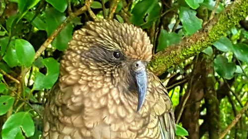 Kea at Otira Gorge.  Saw lots of them today.  There are only 5000 left....
