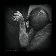enge Beziehungen (rafischatz... www.rafischatz-photography.de) Tags: animal monkey child arm fingers baby monochrome sw zoo wilhelma stuttgart pentax k3