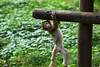 just hanging around...  monkey baby - Barbary Macaque - Berberaffe (okrakaro) Tags: justhangingaround monkeybaby little barbarymacaque berberaffe affenbaby nature wooden fence holzzaun natur animal zoo rheine 2013 germany