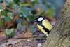 Great tit (Swell Wood) (Steve Balcombe) Tags: bird great tit parus major woodland carparkbirds rspb swellwood somerset uk