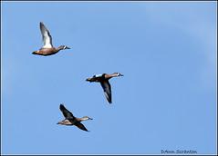 DSC_4434 Blue-wing Teal (felicitydawn) Tags: teal sky
