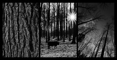 Tree-ptysh (Ulysse.C) Tags: winter tryptish tree black white blackandwhite bw hiver forest forêt nature wild ulysse ulyssec claude sony a77ii triptyque