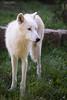 Polar Wolf (Cloudtail the Snow Leopard) Tags: polarwolf wildpark parc animalier sainte croix tier animal mammal säugetier wolf weiswolf canis lupus arctos polar arctic
