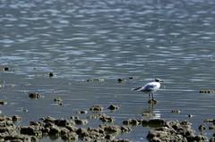 Gaviota de Franklin (Bryan_Andres) Tags: laguna aculeo paine chile ave pajaro bird lagoon gaviota franklin