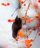 Celle que je veux  🍎 The one that I want ! (www.nathalie-chatelain-images.ch) Tags: nature oiseau bird merle blackbird pommierdornement smallapples hiver winter neige snow nikon