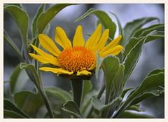 Mexican Tree Sunflower (gauchocat) Tags: arizonasonoradesertmuseum tucsonarizona