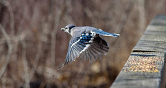 DSC_9294 (Beth Rizzo) Tags: nature wildlife birds flight wings avian heron blueheron cardinal bluejay sparrow titmouse winged newengland